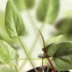 obat herbal kanker alami