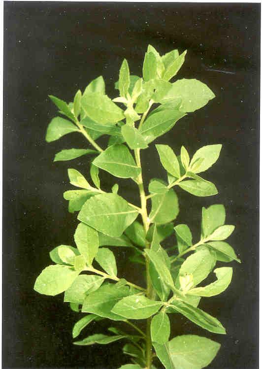 tanaman herbal beluntas