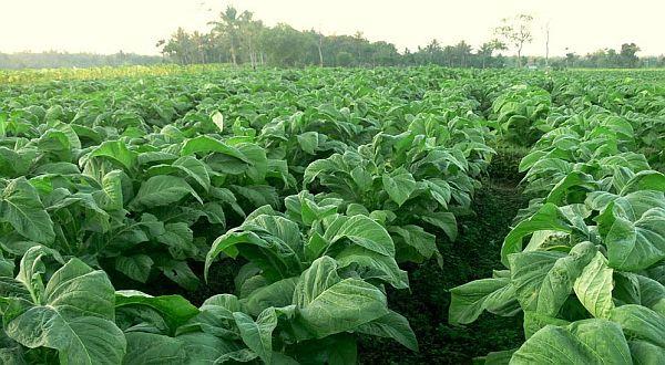 tanaman obat tembakau