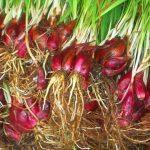 Herbal Bawang Dayak Mengobati Penyakit Kronis