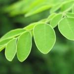 tanaman daun kelor